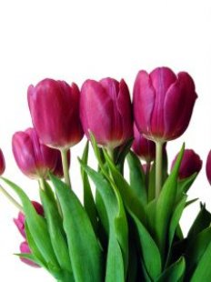 Tulp_purple_tulpen_268979_l